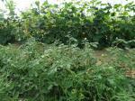 Serre tomates et concombres