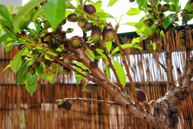 Nectarinier nain