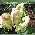 balanicole_2017_05_le printemps des tulipes_08_parrot blanc rose