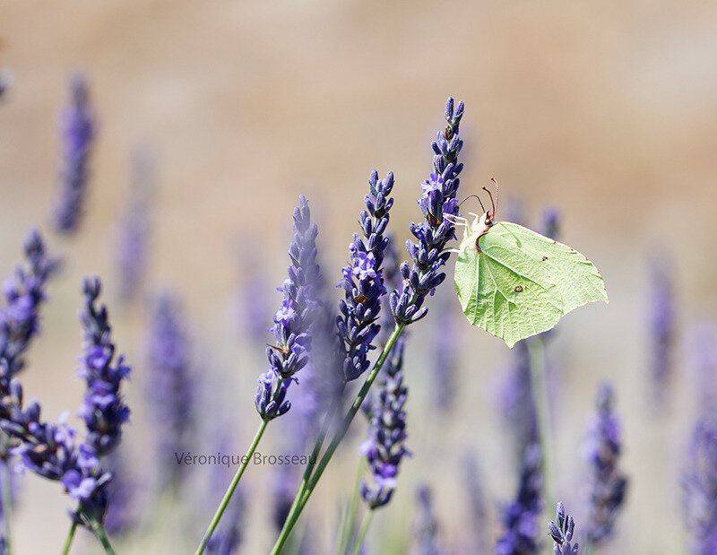 papillon citron17-01