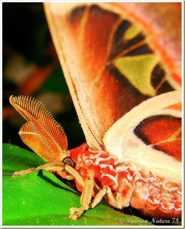 Papillon Attacus Atlas ou Bombyx Atlas (22)