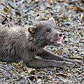 A la recherche du renard polaire (3ème partie)