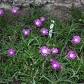 2009 07 14 Delosperma Floribunda
