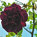 Rosier Dark Lady