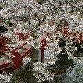 Cerisiers du Japon 4