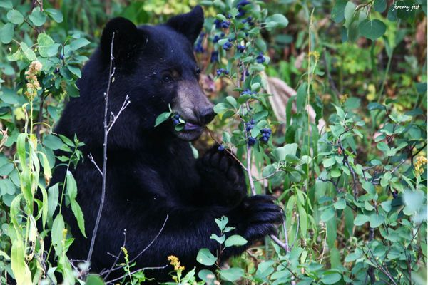 Bear and berries 2 bis