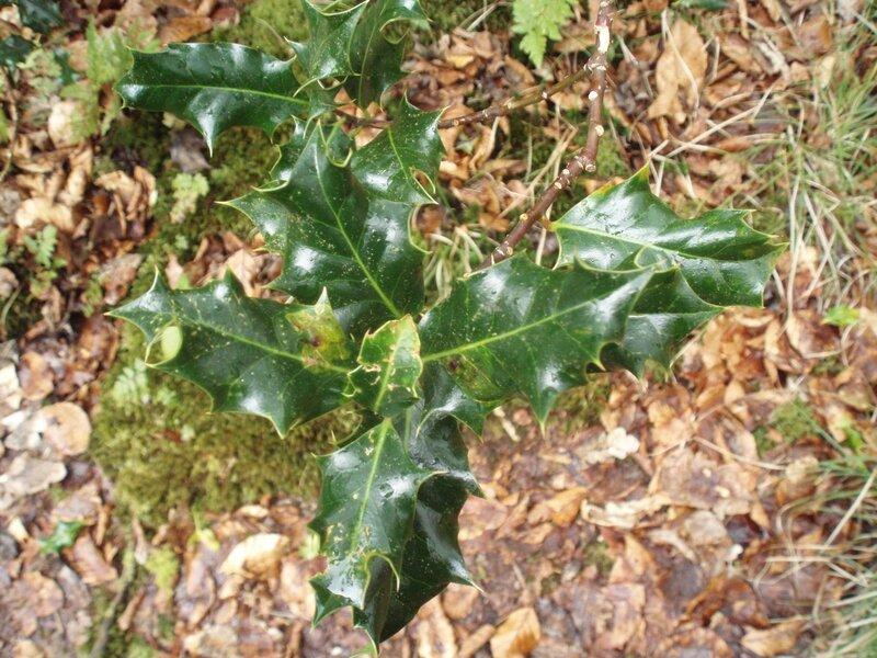 Feuilles de houx / Holly leaves
