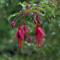 Fuschias de novembre