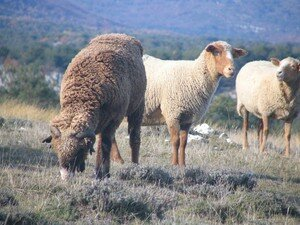 Moutons___Caussols_4