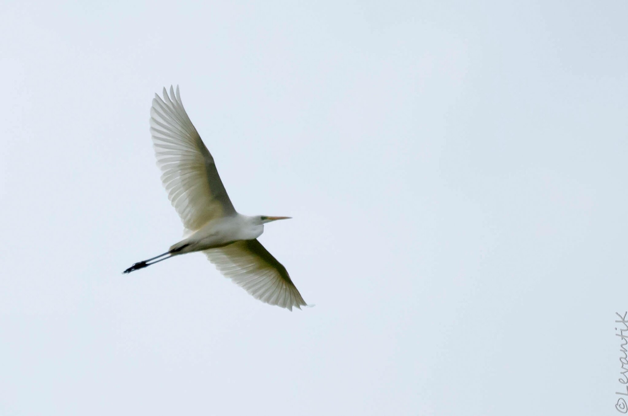 Grande aigrette - Ardea alba (2)