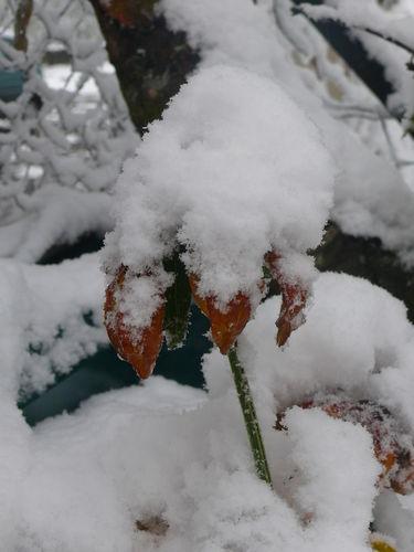 2008 10 29 Un fleur de rudbeckia sous une bonne épaisseur de neige fraiche