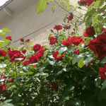 rosiermur