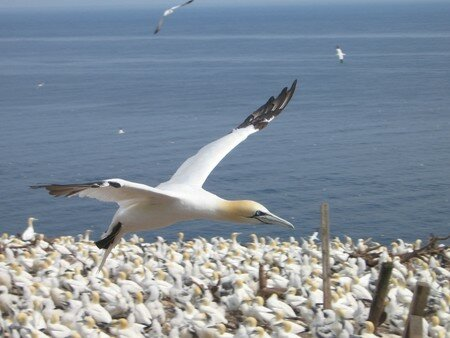 northen_gannet_in_flight
