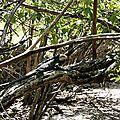 Iguane sur un îlet près de la baignoire Joséphine