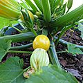 COURGETTES 7