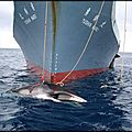 Sea shepherd japon - chine !...