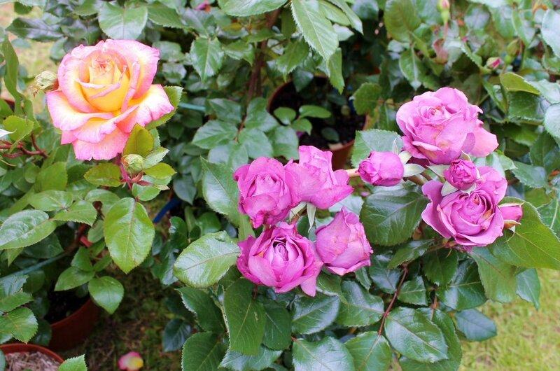 Fête de la rose Veules-les-Roses 016