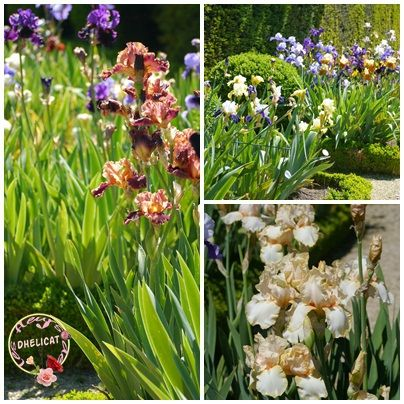 Les iris de bagatelle dheli cat for Jardin hispano mauresque