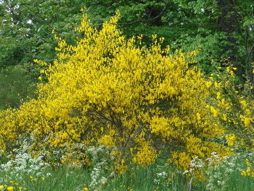 2008 05 22 Les genets en fleur