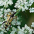 Ruptela maculata (lepture tâchetée)