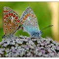 Les papillons lysandra bellargus
