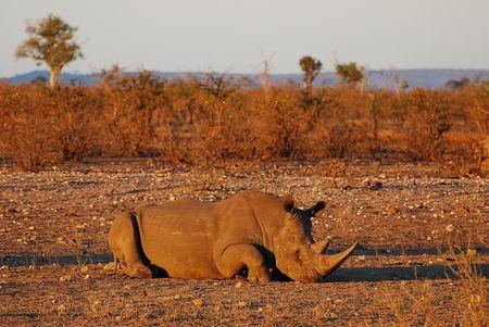 Rhinoc_ros_blanc__parc_Kruger__Afrique_du_Sud