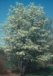 Amelanchier_FB