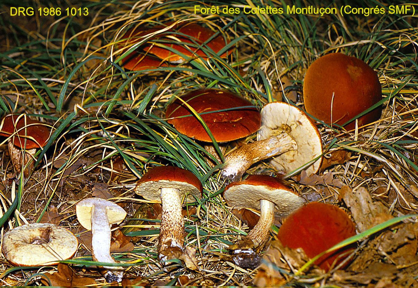 Leccinum_quercinum_1986_1013_montluconb