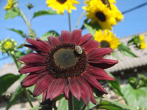 2008 09 08 Une fleur de tournesol coucher de soleil et une abeille