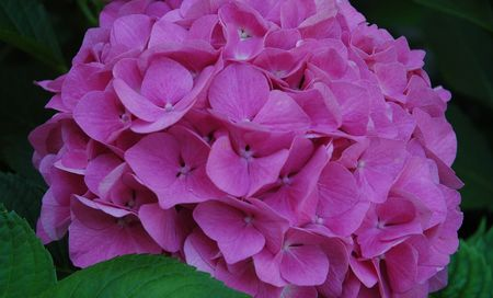 hortensia_rose