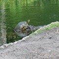 Une petite tortue bien courageuse pour aller se poster sur la tête d'un alligator...