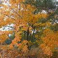 2008 10 06 Erable au feuilles bien colorées