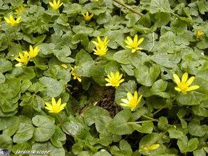 La ficaire si jolie et pourtant class e mauvaise herbe - Mauvaise herbe fleur jaune ...