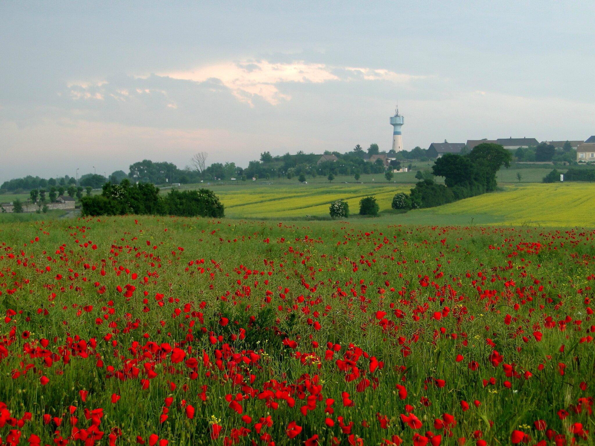 champs rouge coquelicots photo fleurs rouges juin blé jaunevalerie albertosi