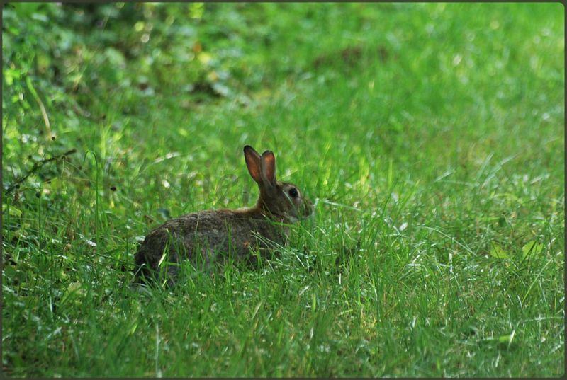 Lapin de garenne photos b f vrier - Cuisiner un lapin de garenne ...