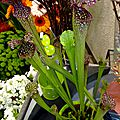 Sarracenia (Plante carnivore)