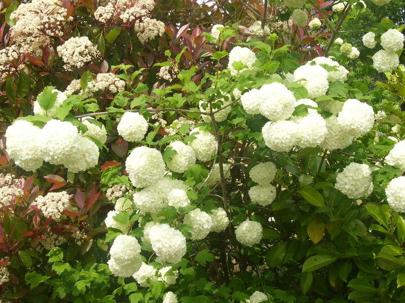 Fleurs et arbuste de mon jardin petits moments de d tente - Arbuste a boule rouge ...