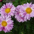2009 09 10 Des fleurs de Chrysanthèmes d'automne