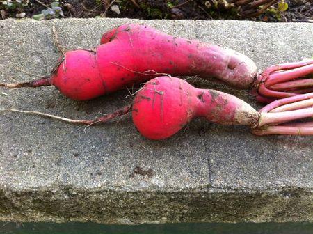 R colte du jour les radis roses de chine tods2tods - Radis rose de chine ...