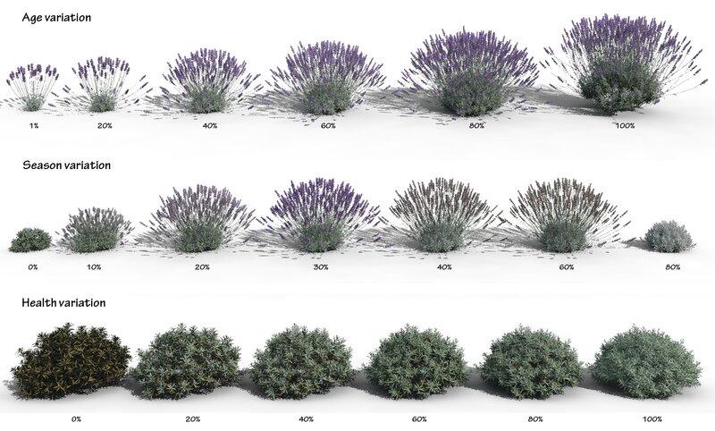 3D plant model Lavandula x intermedia english lavender c4d 3ds obj max fbx age season health