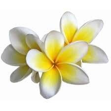 """Résultat de recherche d'images pour """"fleur de frangipanier"""""""