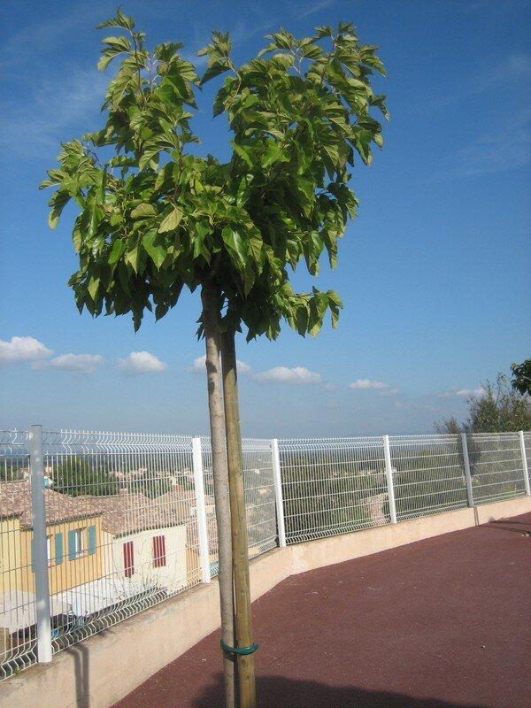 les arbres de la cour 001