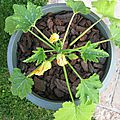 COURGETTES 1