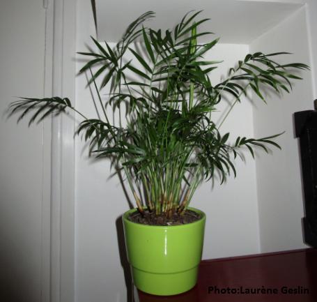 chamaedorea elegans palmier nain photo de mes plantes d int rieur laur ne geslin jardini re. Black Bedroom Furniture Sets. Home Design Ideas
