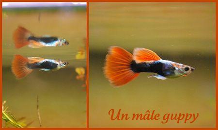 guppy_mal