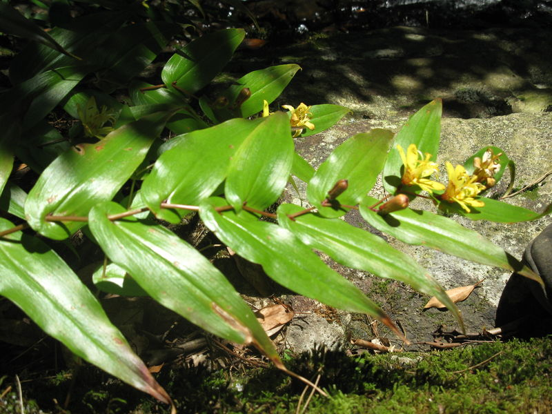 Fleur: Kibana no tuki nuke hototogisu, unique dans le monde, ret