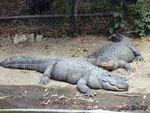 Aligator__2_