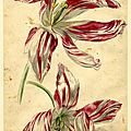 Jan van huysum (dutch, 1682-1749), flower study; a variety of tulip, two flowers, pink and white, 1697-1749