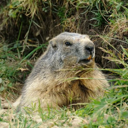 Marmotte Glière -011