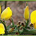 Fleurs d'Ajoncs perlées 2